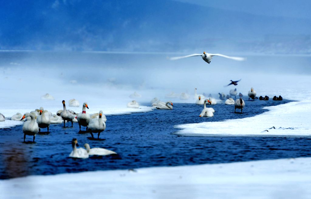 Swans live through winter on the Swan Lake in Rongcheng, east China's Shandong Province, Jan. 18, 2016. (Xinhua/Yang Zhili)