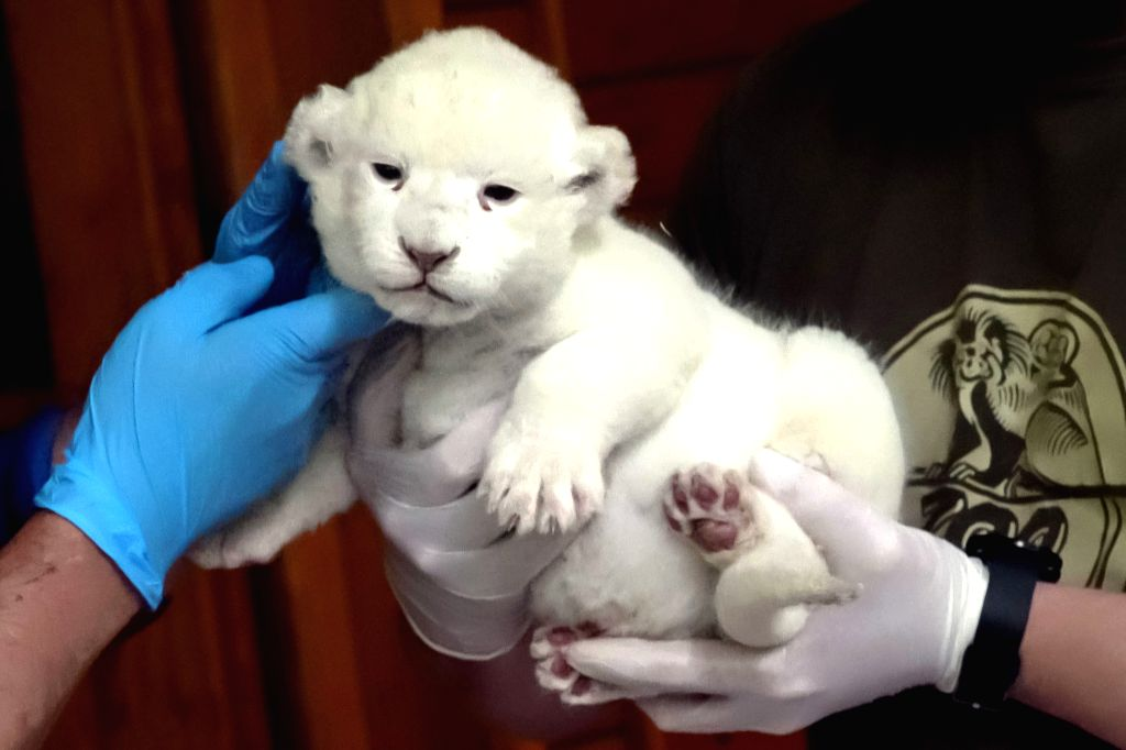 SZEGED (HUNGARY), May 24, 2019 Doctors inspect a newborn white lion cub at the Szeged Zoo in Szeged, about 150 km south of Budapest, Hungary, on May 24, 2019. A rare white lion, which was ...