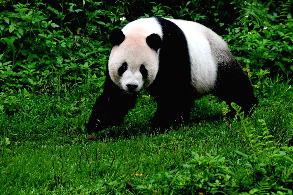 TAIPEI, May 6, 2019 - The giant panda Tuantuan plays at the Taipei Zoo in Taipei, southeast China's Taiwan, May 6, 2019. At the Taipei Zoo, the two giant pandas Tuantuan (male) and Yuanyuan (female) ...