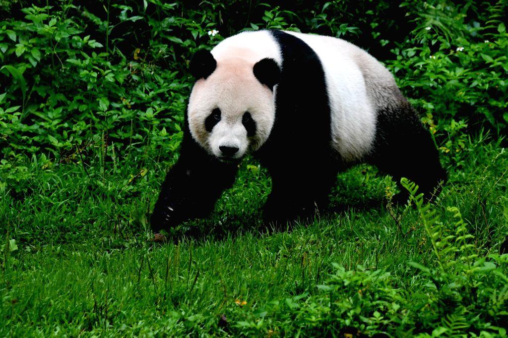 Taipei, May 7, 2019 - The giant panda Tuantuan plays at the Taipei Zoo in Taipei, southeast China's Taiwan, May 6, 2019. At the Taipei Zoo, the two giant pandas Tuantuan (male) and Yuanyuan (female) ...