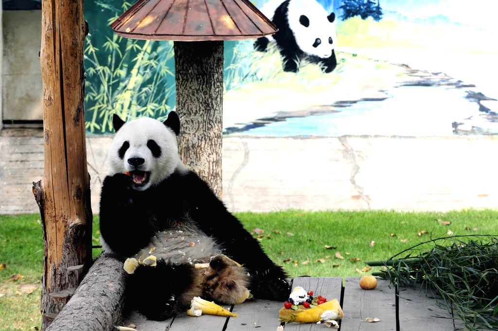 Giant panda Caitao enjoys his birthday meal at Taiyuan Zoo in Taiyuan, capital of north China's Shanxi Province, Aug. 2, 2014. Saturday is the fourth birthday of the