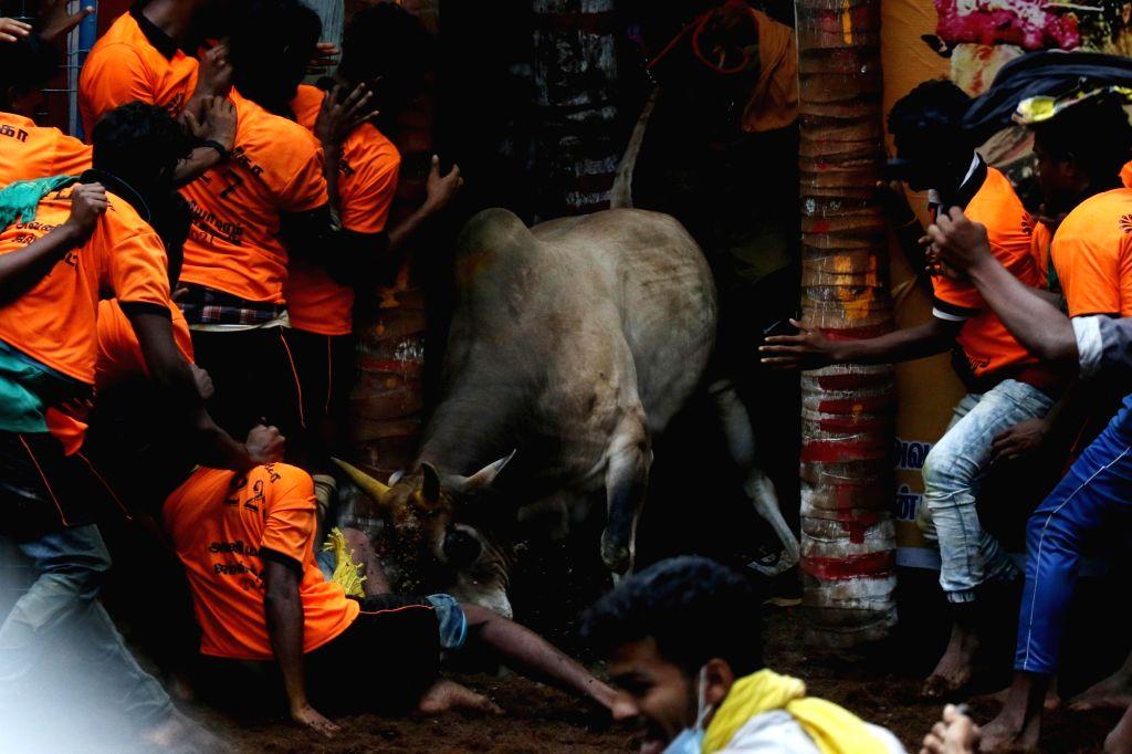 Tamil Nadu's traditional bull taming festival, Jallikattu in AvaniyaPuram, Madurai on Jan 14, 2021.