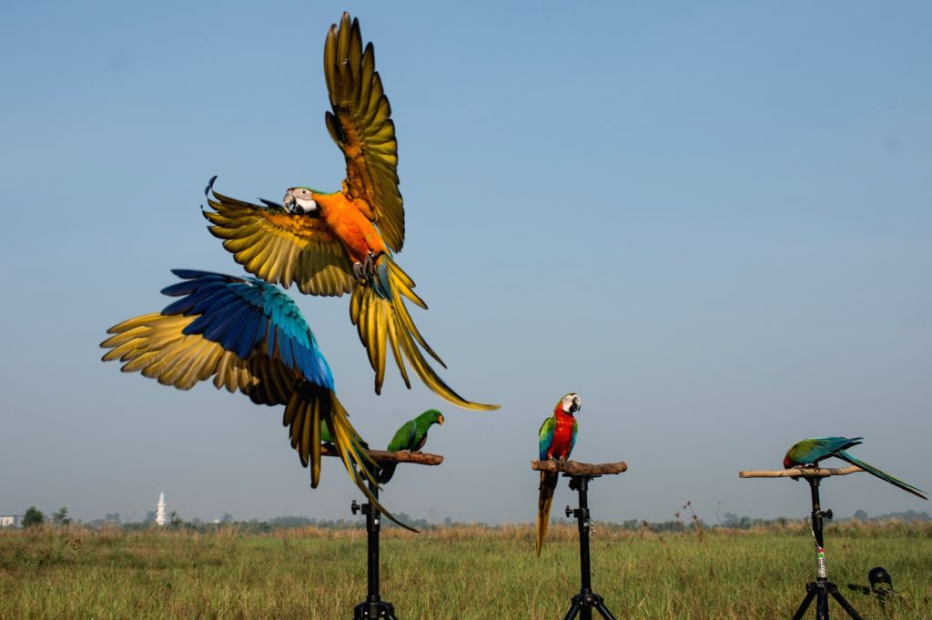 TANGERANG, July 29, 2018 - Macaw parrots practice free fly at Bumi Serpong Damai district, South Tangerang in Indonesia, July 29, 2018.