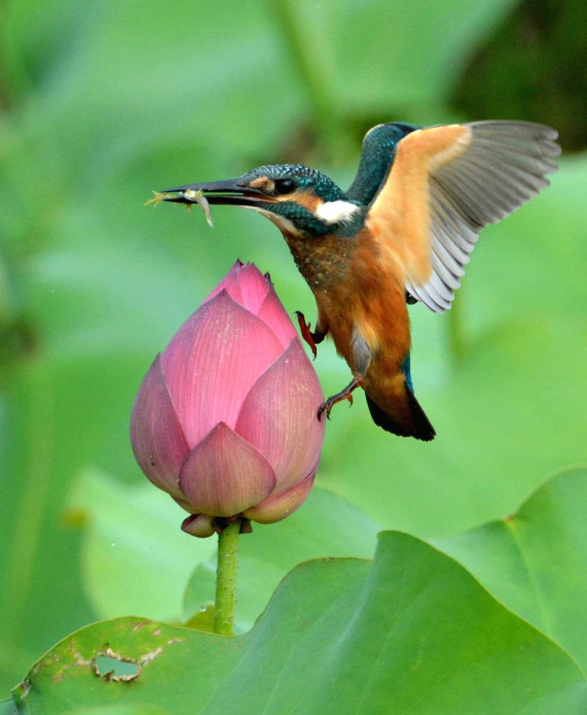 Tangshan (Hebei), 16 July 2014  A kingfisher standing on lotus bud at Aquatic Park Arboretum in Tangshan, a beautiful kingfisher sometimes quietly standing on lotus bud, sometimes lightning ..