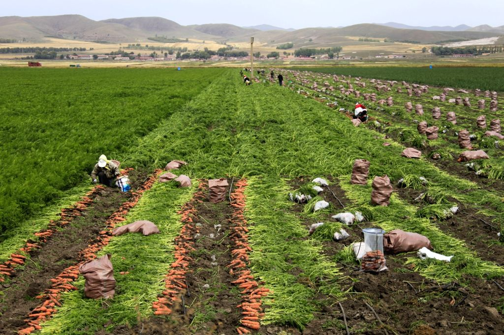 TANGSHAN, Sept. 21, 2017 - Farmers harvest carrots in the field in Bashang area of Fengning Manchu Autonomous County, north China's Hebei Province, Sept. 21, 2017.