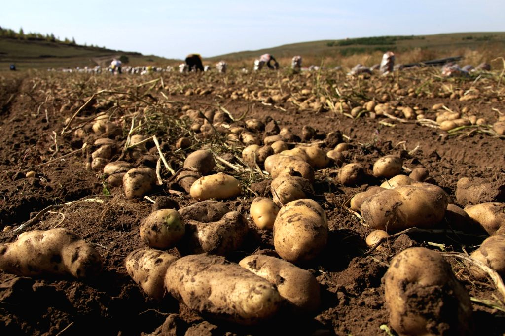 TANGSHAN, Sept. 21, 2017 - Farmers harvest potatoes in the field in Bashang area of Fengning Manchu Autonomous County, north China's Hebei Province, Sept. 21, 2017.