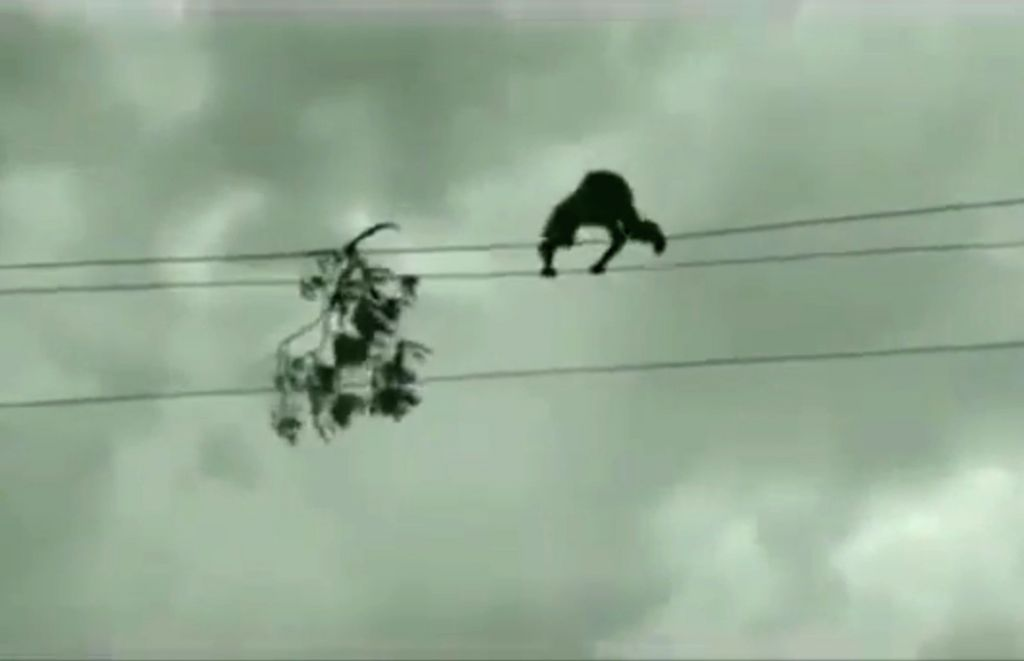 Telangana youth walks on high-tension wire to remove tree branch.