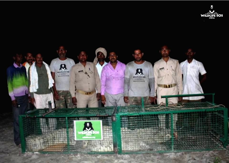 The 11-foot-long crocodile which had caused panic in Uttar Pradesh's Shahjahanpur district after attacking a villager has been caught and released into the Ganges.