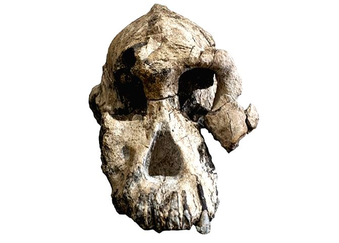 """The 3.8-million-year-old fossil cranium called """"MRD"""" represents a time interval between 4.1 and 3.6 million years ago. (Photo Credit: Cleveland Museum of Natural History)"""