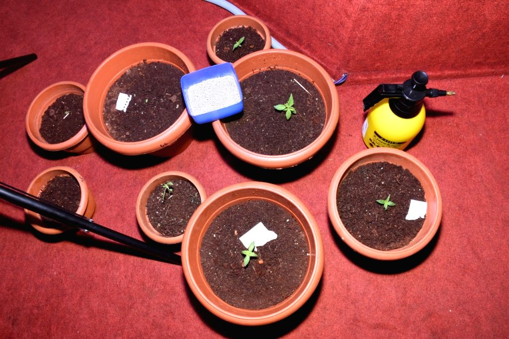 The Bengaluru police central crime branch on Friday arrested a group of three drug peddlers for innovatively growing marijuana in flower pots inside a flat in the city. Police arrested Aditya Kumar, ... - Kumar