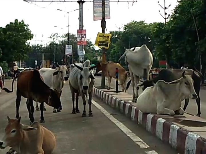 The campaign of the Yogi government to raise 'Anna' (stray) cows in Banda district of Uttar Pradesh's Bundelkhand may not come down as expected. The situation is such that for the ambitious scheme, ...