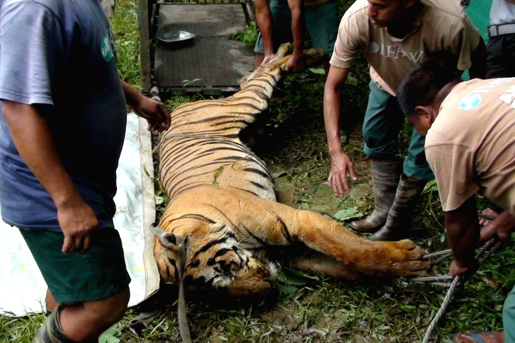 The carcass of a Royal Bengal Tiger that was found by forest officials at Dhanbari  in Agoratoli  range of the Kaziranga Park at  Centre for Wildlife Rehabilitation and Conservation (CWRC) ...