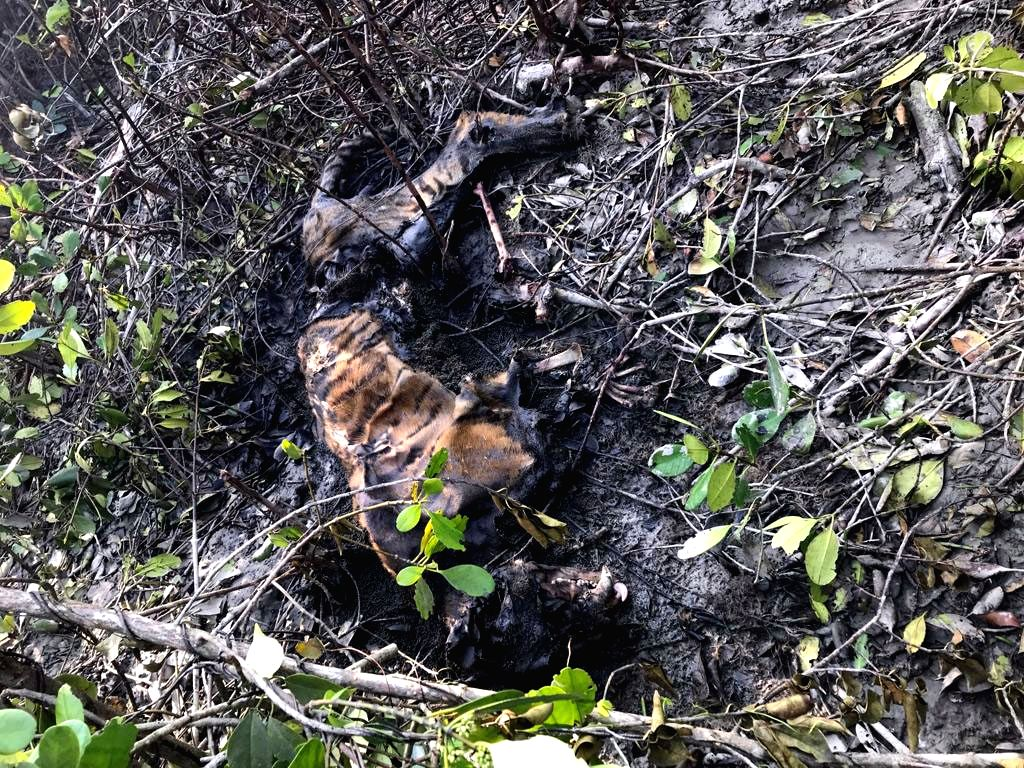 The carcass of a tiger that was found in the mangrove forest in Kolkata, on April 10, 2019. The cause of its death has not yet been ascertained.