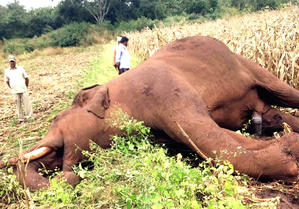 The carcass of an elephant that was electrocuted at Kadur in Chikkamagaluru district, Karnataka on Dec 3, 2019.