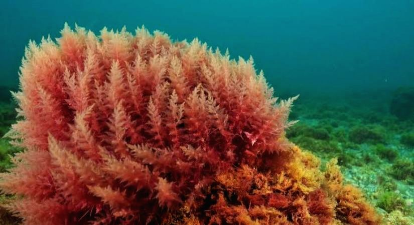 The goodness of red algae.