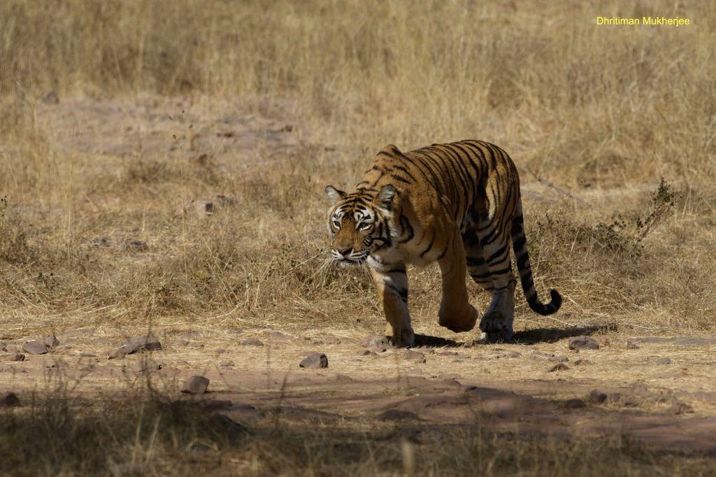 The Grand tigress Machli stalks a prey at Ranthambore National Park, Rajasthan.