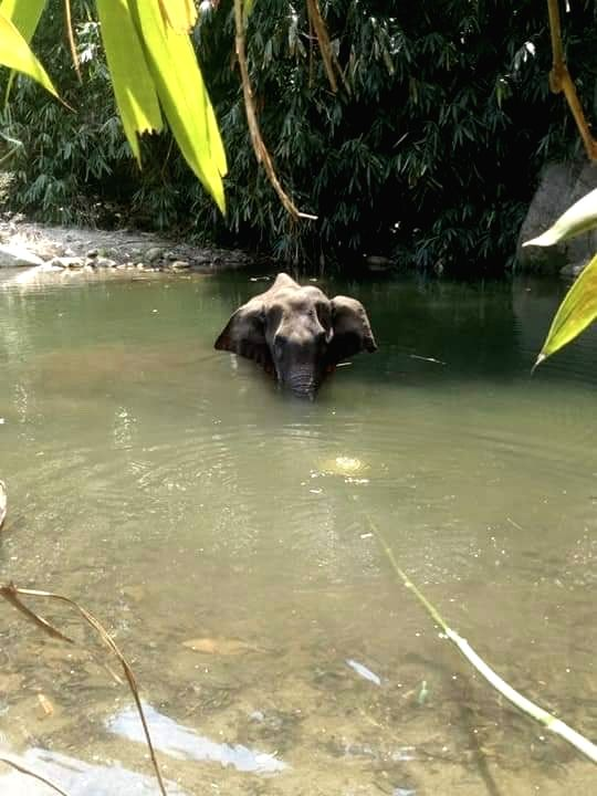 The Kerala Forest department has launched a 'manhunt' for those responsible for the death of a 15-year-old pregnant wild elephant, said an official. The elephant had died after being seriously injured by firecrackers hidden in a pineapple. Speaking t