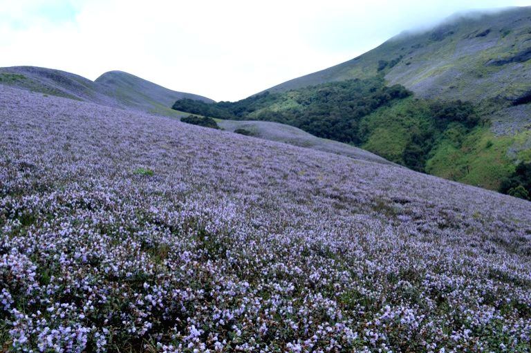 The kurinji bloom in the shola-grassland ecosystem in 2014. Photo by Prasad Ambattu.