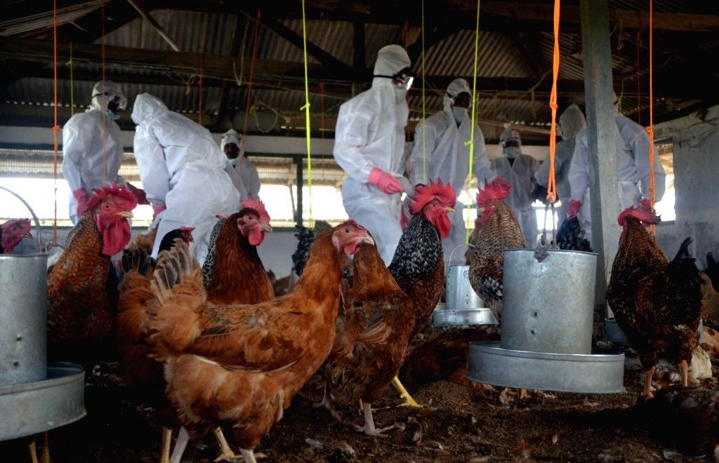 The officials form Animal Resource Development Department (ARDD) wearing protective gear cull hens in government run Gandhigram State Poultry Farm after bird flu virus was detected, in the ...