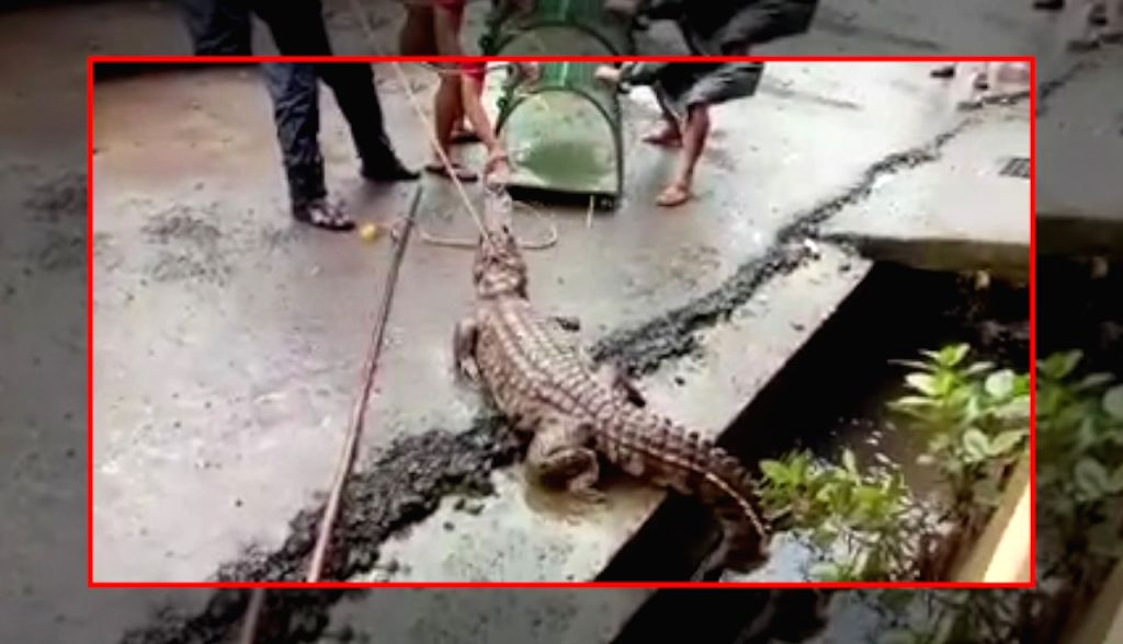 The Ratnagiri Divisional Forest Office rescued an 8-feet long crocodile which was stuck in a drain beside a road in the tourist resort of Chiplun in Maharashtra's Ratnagiri. The incident ...