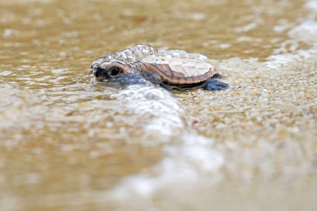 The Turtle Survival Alliance (TSA), a US-based international organisation, is undertaking a fresh survey of turtle species in the Terai region of Uttar Pradesh. (File Photo: Xinhua/Then Chih Wey/IANS)