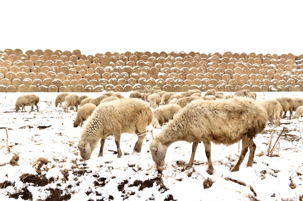 TIANJIN, April 5, 2018 - Sheep graze on a snow-covered field in Tianjin, north China, April 5, 2018. A cold front brought snowfall to parts of China in these days.