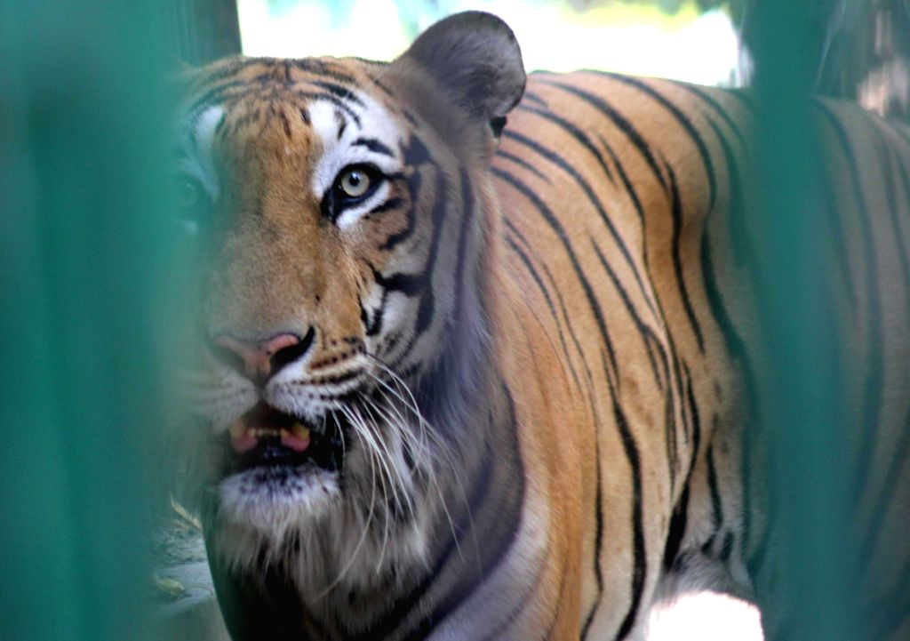 Tiger seen inside its enclosure at the National Zoological Park in New Delhi, on June 1, 2019.