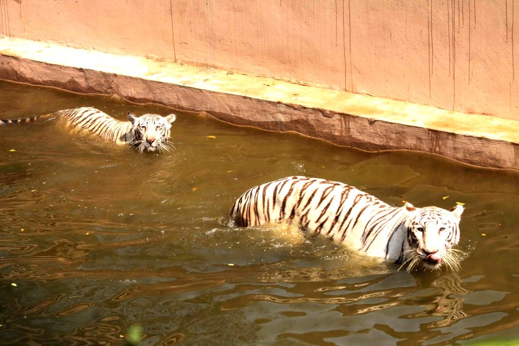 Tigers beat the heat at its enclosure at Nehru Zoological Park in Hyderabad on May 12, 2017.