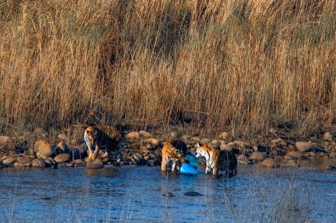 Tigers captured playing with plastic in Corbett, Twitter ablaze.