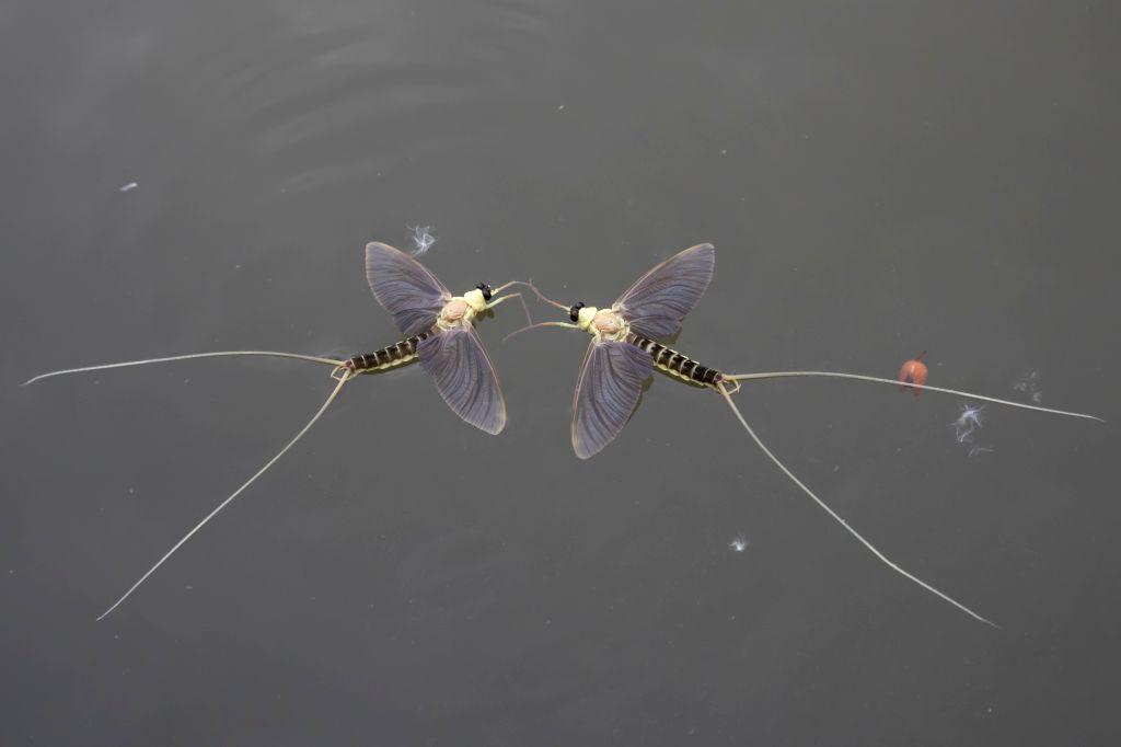 TISZAKURT, June 16, 2017 - Two long-tailed mayflies (Palingenia longicauda) are seen on the river Tisza in Tiszakurt, a village in Jasz-Nagykun-Szolnok county, central Hungary, on June 16, 2017. ...