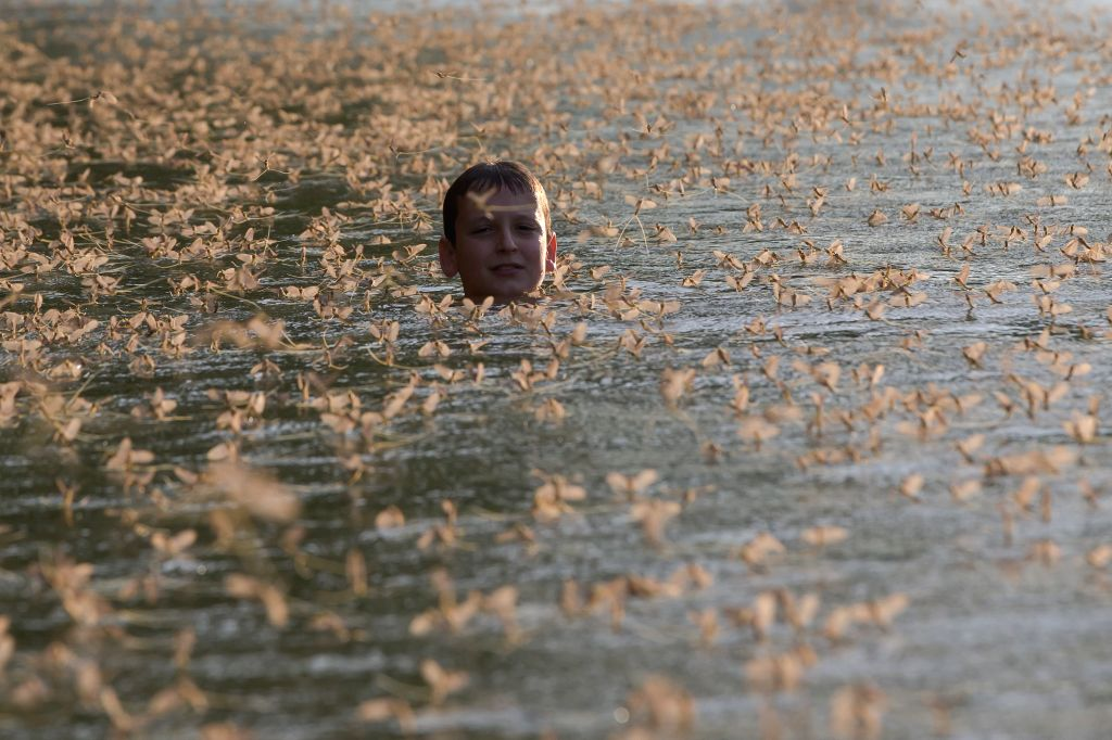 A boy swims among the Long-tailed mayflies on the river Tisza in Tiszakurt, a village in central Hungary, on June 18, 2015. The short-lived mayflies engage in a ...