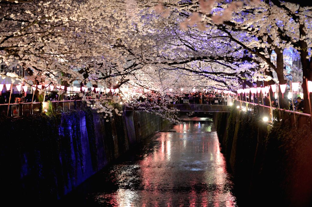Photo taken on March 30, 2015 shows blooming cherry trees in Tokyo.