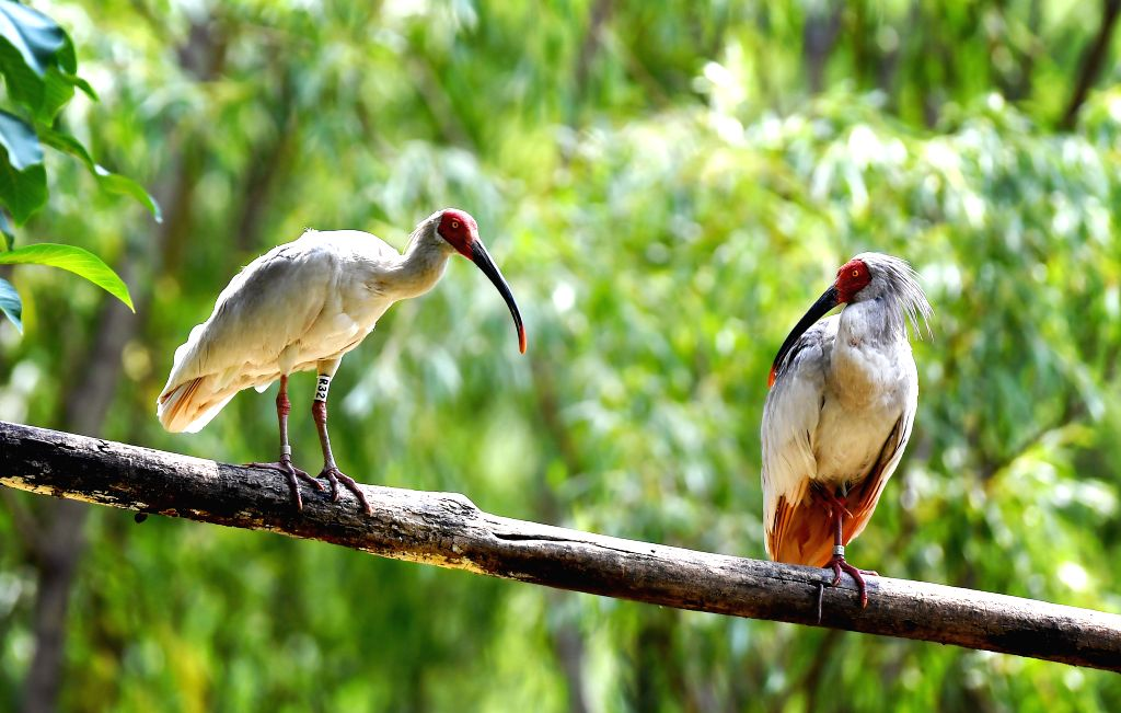 TONGCHUAN, June 14, 2019 - Crested ibises are seen in the Juhe River area of Yaozhou District in Tongchuan, northwest China's Shaanxi Province, June 13, 2019. Crested ibis had been assumed to be ...