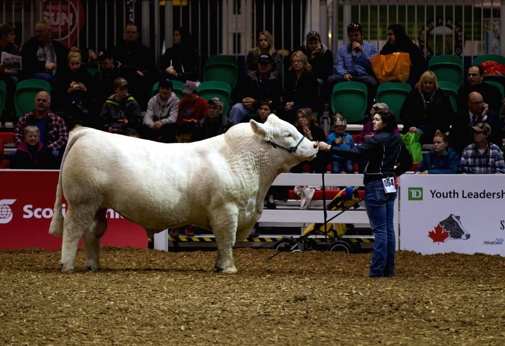 A charolais bull is displayed during the charolais show of the 92nd Royal Agricultural Winter Fair at the Direct Energy Centre in Toronto, Canada, Nov. 7, 2014. As one of the largest indoor .