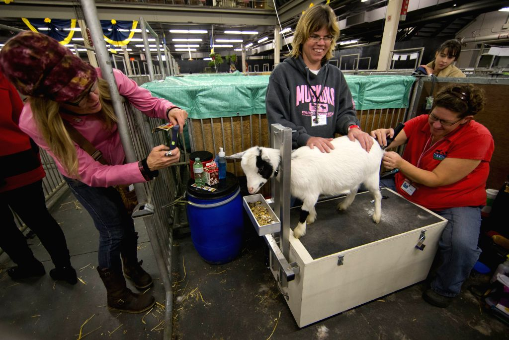 A woman takes photos of sheep shearing with her smartphone during the 92nd Royal Agricultural Winter Fair at the Direct Energy Centre in Toronto, Canada, Nov. 7, 2014. As one of the largest .