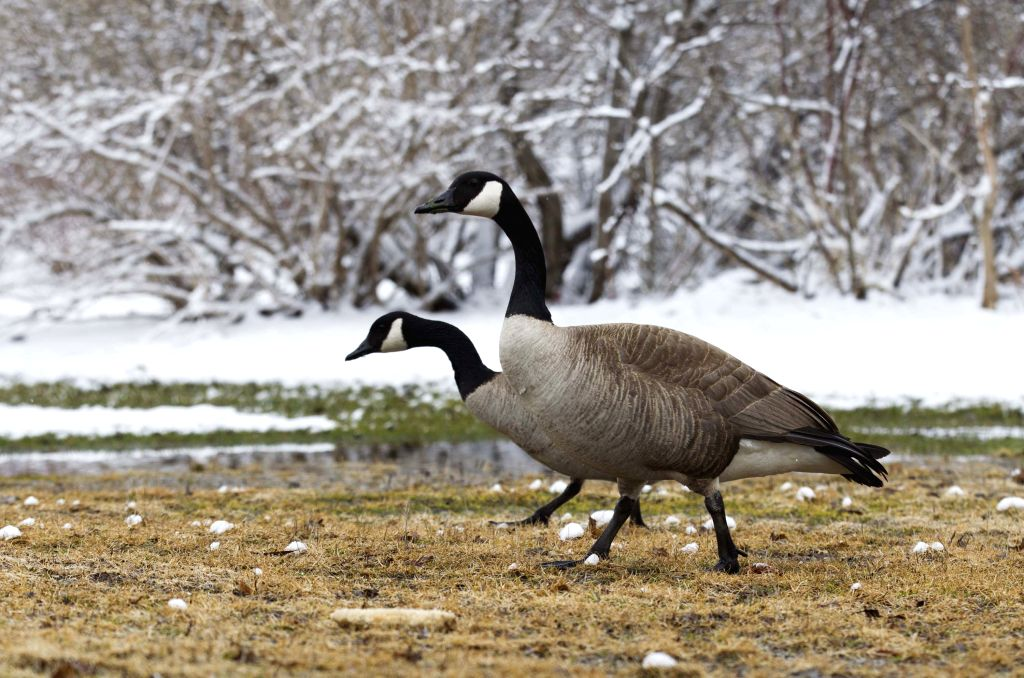 Two Canada gooses walk on snow-covered grass in Toronto, Canada, on April 15, 2014. A spring snow hit Toronto on Tuesday as the temperature dropped to minus seven .