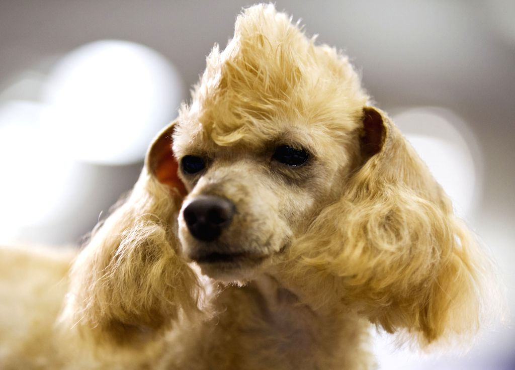 A dog is seen after get groomed by a stylist during the Grooming Competition of the 2014 All About Pets Show in Tonronto, Canada, April 18, 2014. (Xinhua/Zou ...