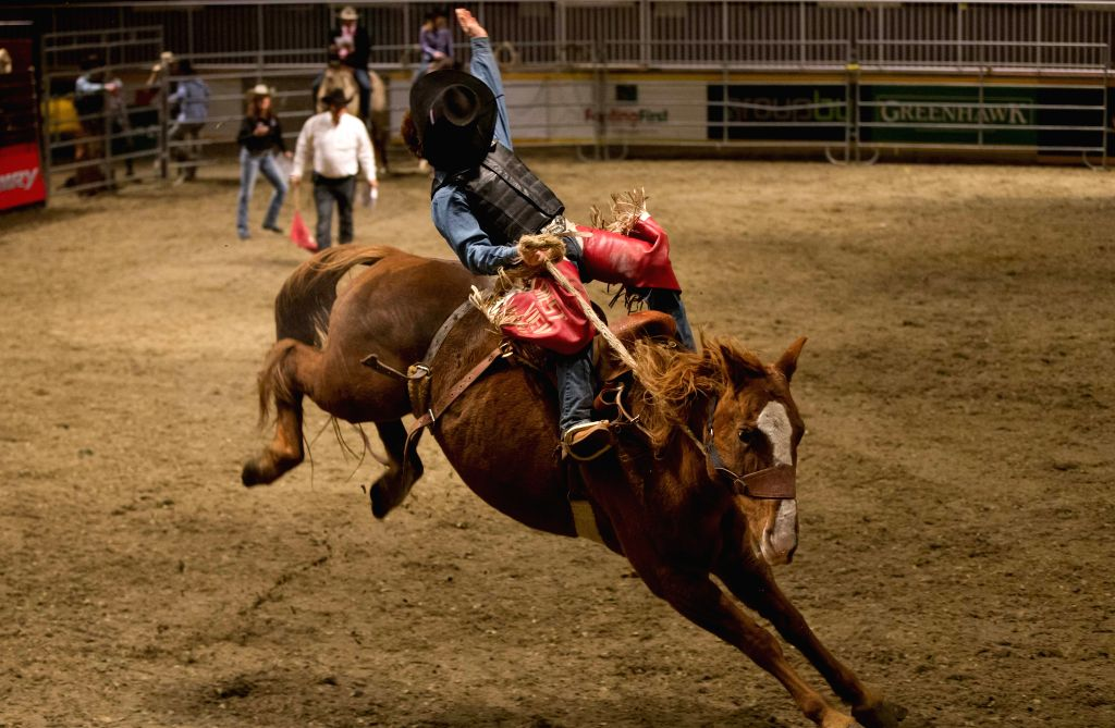 Toronto (Canada): Cowboy John Millar competes during the Rodeo section of the 2014 Royal Horse Show at Ricoh Coliseum in Toronto, Canada, Nov. 9, 2014. Over 40 riders from the United States and ...