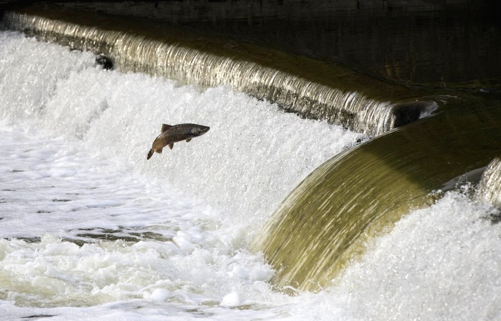 TORONTO, Oct. 9, 2017 - A salmon tries to jump over a weir during its migration to its spawning grounds on Humber River in Toronto, Canada, Oct. 8, 2017.