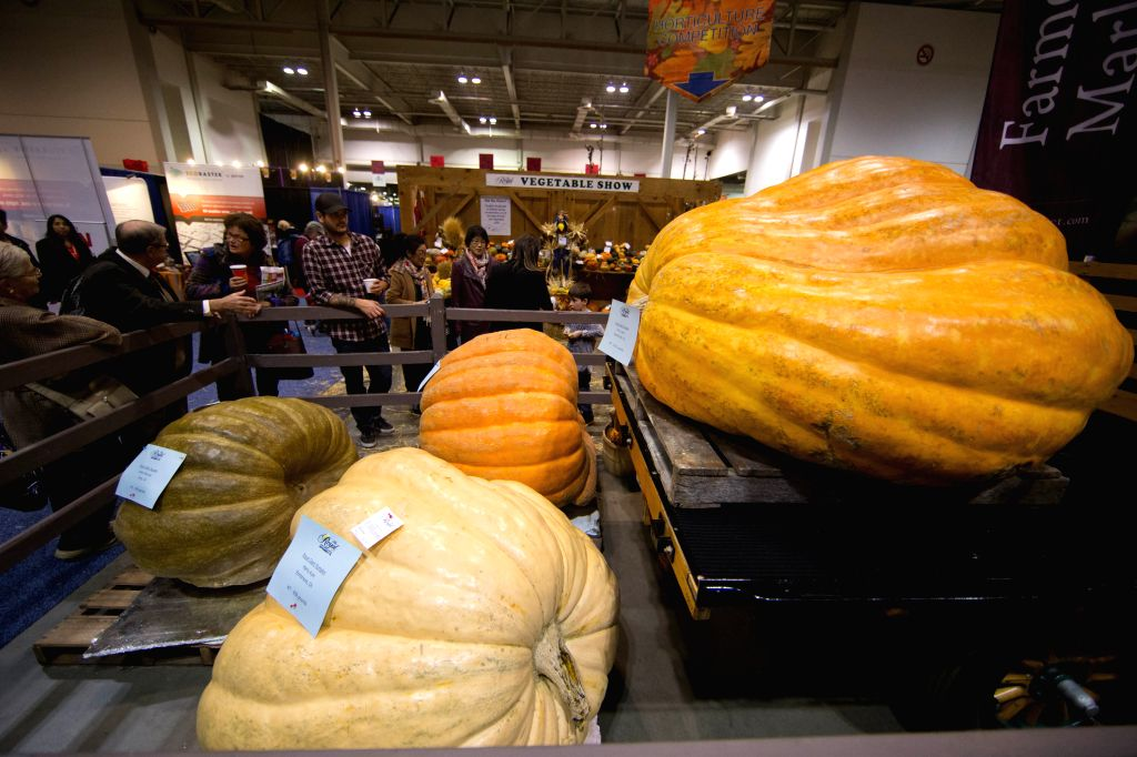 People watch huge pumpkins planted in Canada during the 92nd Royal Agricultural Winter Fair at the Direct Energy Centre in Toronto, Canada, Nov. 7, 2014. As one of the largest indoor ...
