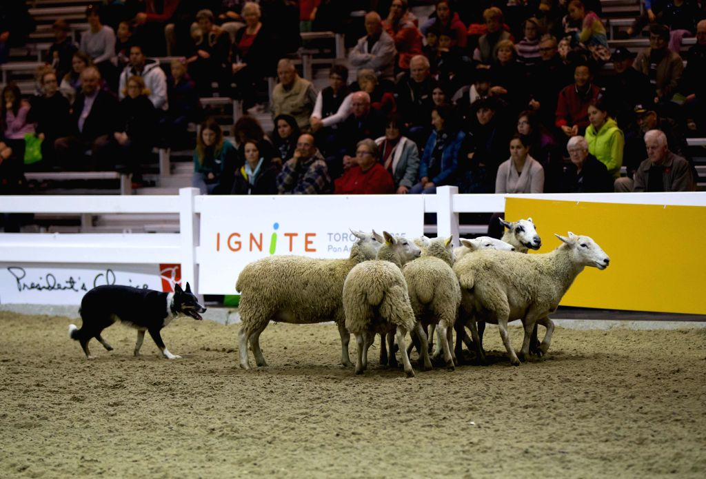 People watch shepherd dog herding sheep show during the 92nd Royal Agricultural Winter Fair at the Direct Energy Centre in Toronto, Canada, Nov. 7, 2014. As one of the largest indoor ...