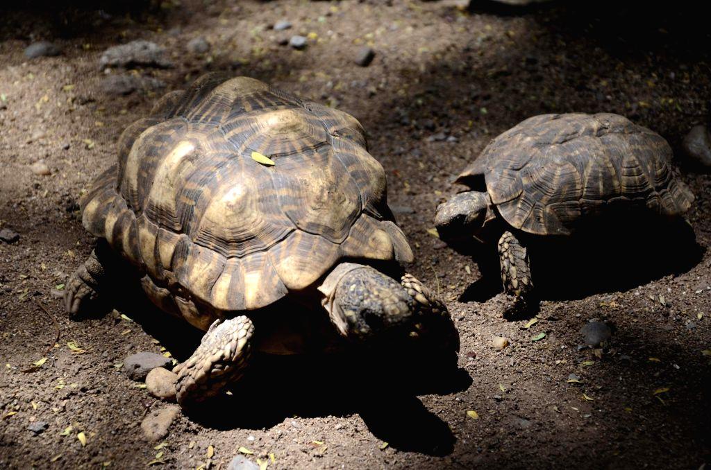 Tortoises at Rajiv Gandhi Zoological Park in Pune on May 12, 2014.