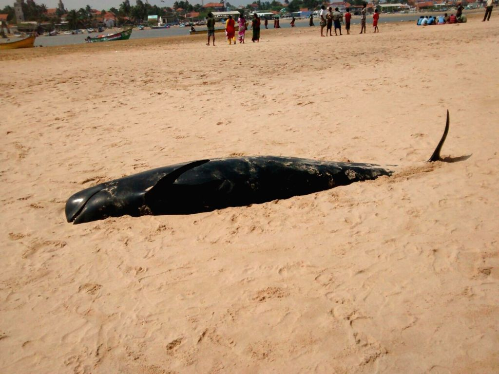 Tuticorin: The whales that were washed ashore at Manapad beach in Tuticorin district of Tamil Nadu on Jan 12, 2016. (Photo: IANS)