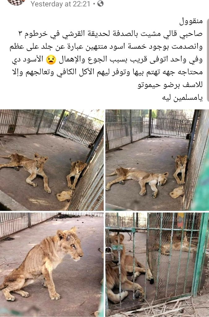 Twitterati users all around the globe show their anger to the sudan authorities after the horrifying images of emaciated Lions in Sudan park spark online. Tweeple started an online campaign to save a group of starving African lions from a zoo in Suda