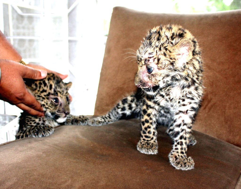 Two leopard cubs rescued at Margherita in Tinsukia district of Assam, on Friday 16th August 2013. (Photo::: IANS)