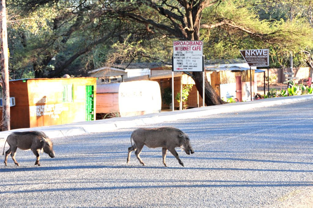 Two warthogs cross the road in Kasane, northern Botswana, on Aug. 8, 2015. Most of Botswana national parks, reserves and wildlife management areas are unfenced, ...