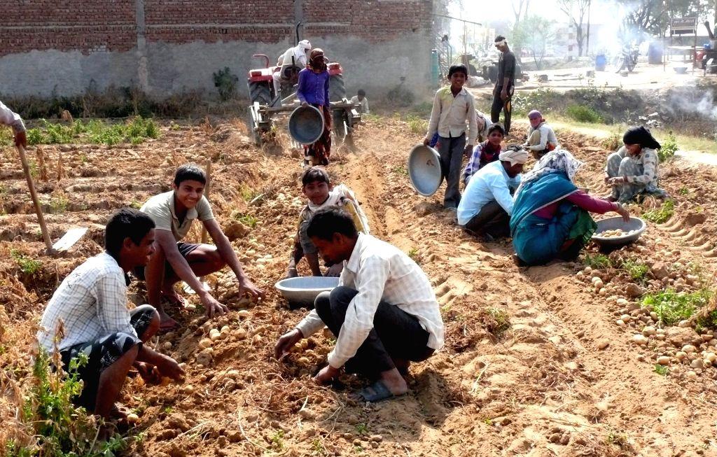 Uttar Pradesh: Farmers pick potatoes from a field near Matura, Uttar Pradesh on March 9, 2017.