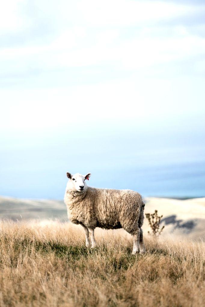 Uttarakhand to produce Australian merino sheep wool.