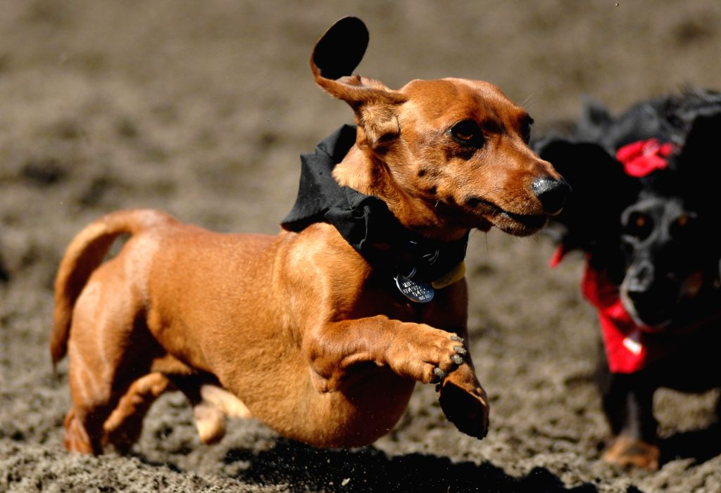 Baxter runs to the finish line during the annual Wiener Dog Racing at Hastings Race Course in Vancouver, Canada, July 13, 2014. More than 70 dachshunds were ...