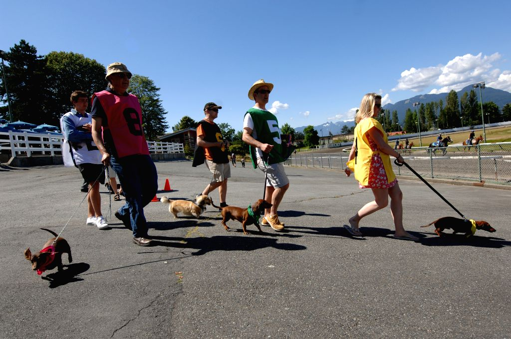 Dachshunds and their owners walk towards the start line of the annual Wiener Dog Racing at Hastings Race Course in Vancouver, Canada, July 13, 2014. More than 70 .